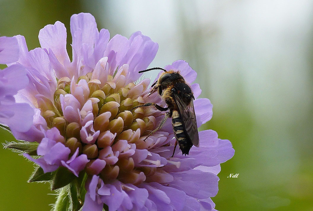 Coelioxys aurolimbata Hymenoptère Megachilidae (4)