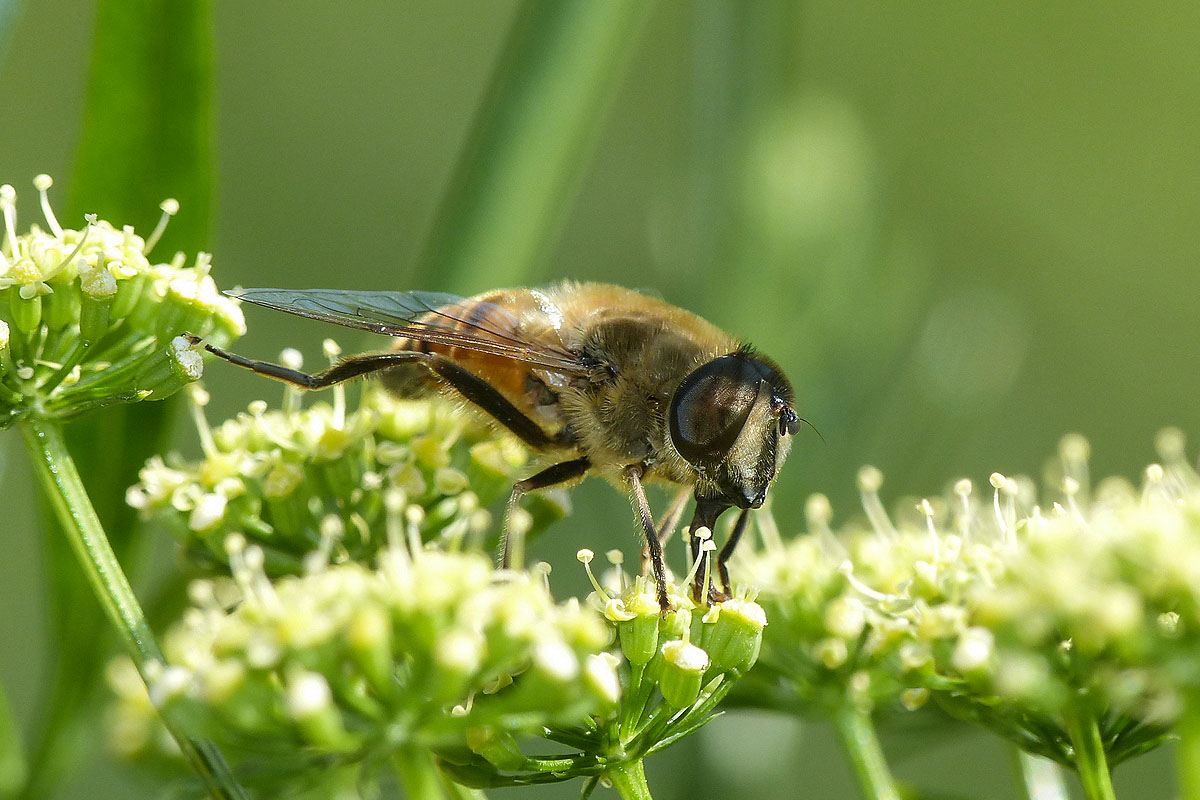 Eristale tenace Eristalis tenax Syrphidae (1)