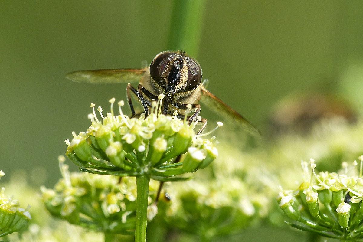 Eristale tenace Eristalis tenax Syrphidae (2)
