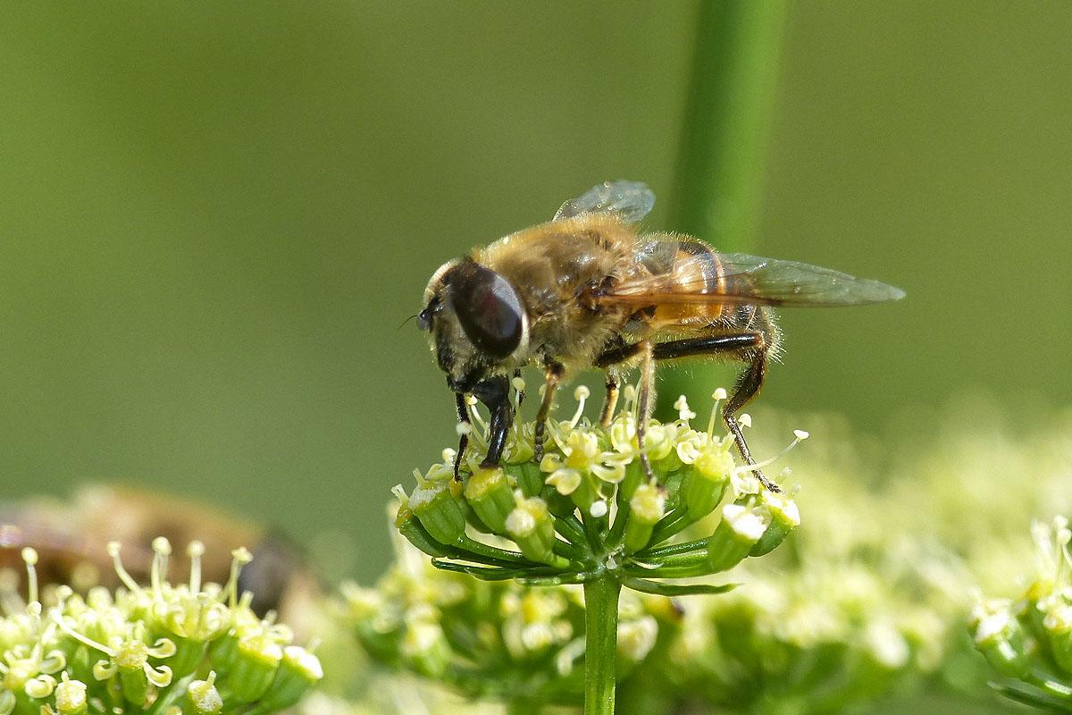 Eristale tenace Eristalis tenax Syrphidae (3)