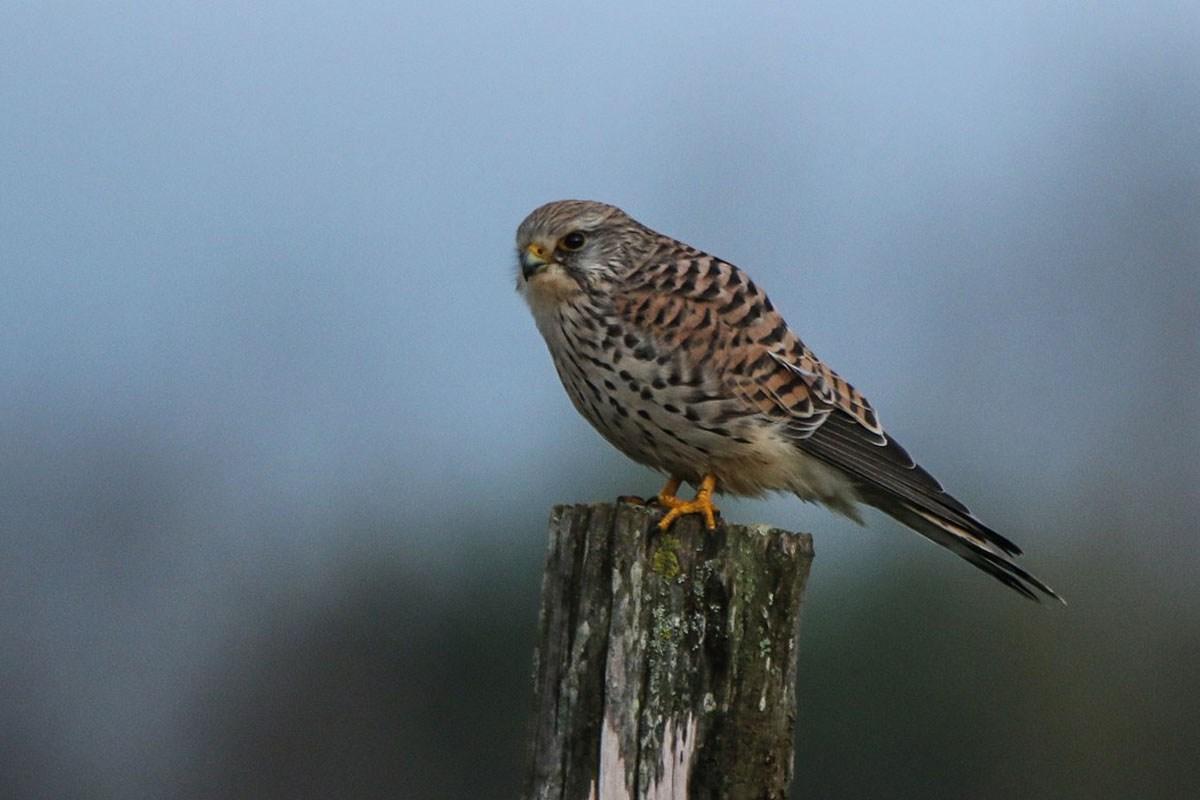 Faucon crecerelle femelle (8)