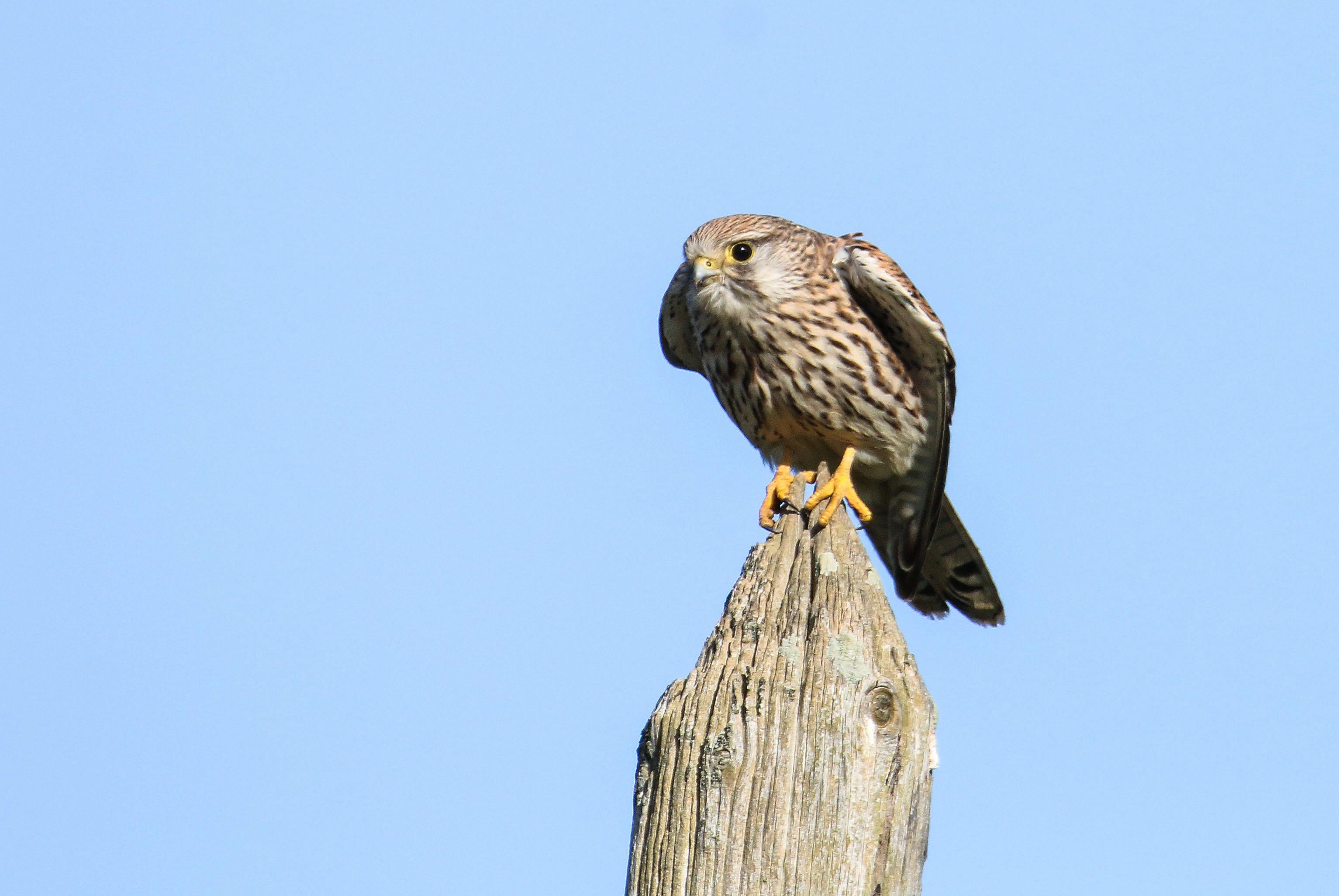 faucon femelle