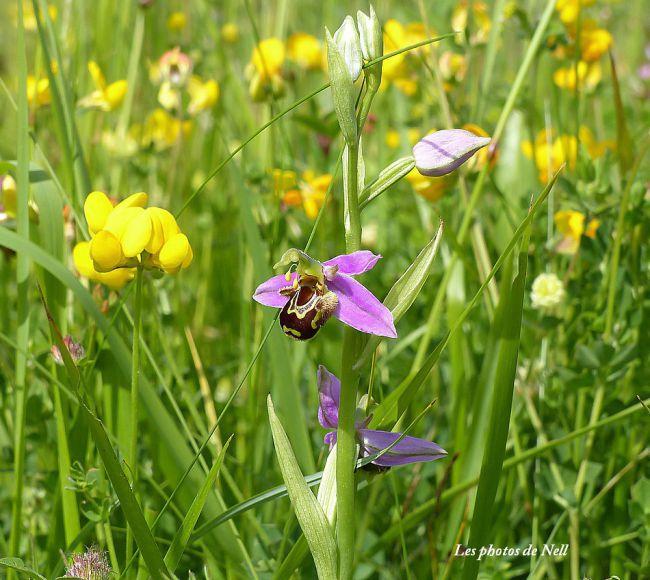Orchidées sauvages : Orchidée abeille,