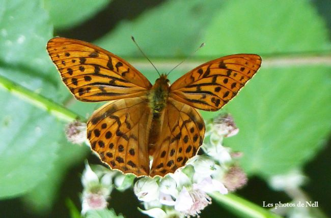 Tabac d'Espagne (Argynnis paphia). Famille : Nymphalidae. Ver/Mer 14.