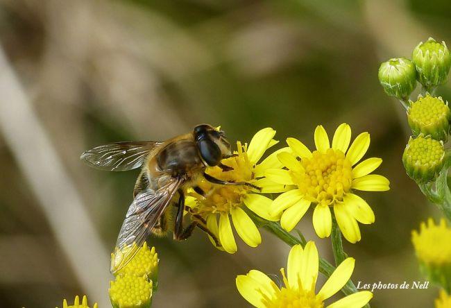 Eristalis arbustorum femelle, famille : Syrphidae. Ver/Mer 14