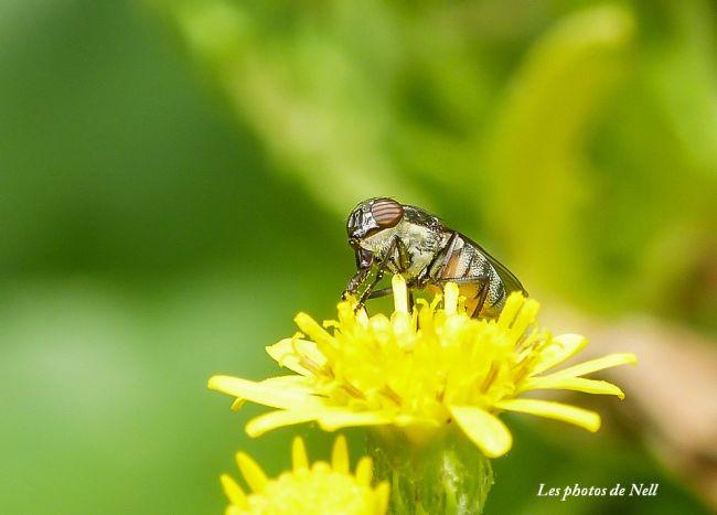 Stomorhina lunata (Fabricius, 1805) femelle. Diptères Calliphoridae Ver/Mer 14