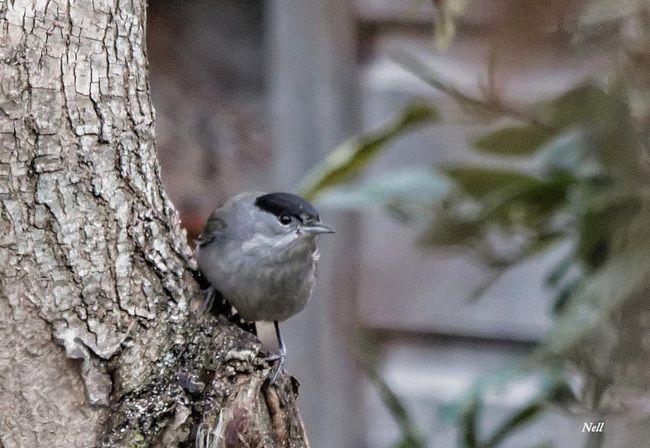 Fauvette à tête noire (Sylvia atricapilla) Passereau famille sylviidae (mon jardin).