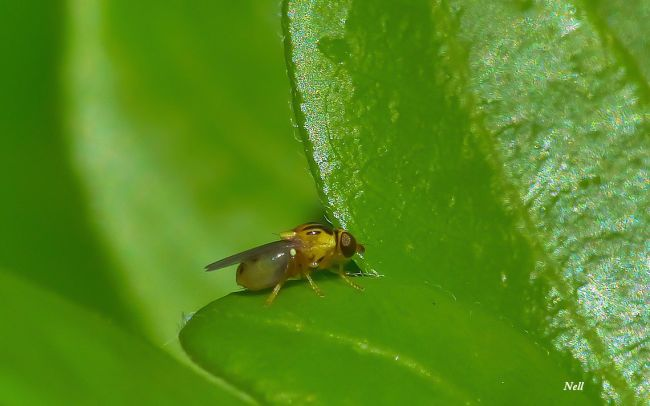 Le Chlorops grégaire Thaumatomyia notata: Chloropidae taille 3 mm (mon jardin) (04/2017).