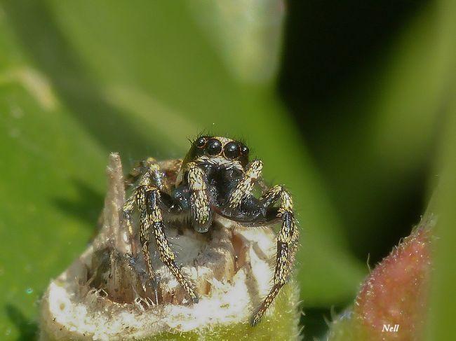 Araignée sauteuse : Salticus cingulatus femelle, famille des Salticidae. Ver/Mer 14 (04/2017).