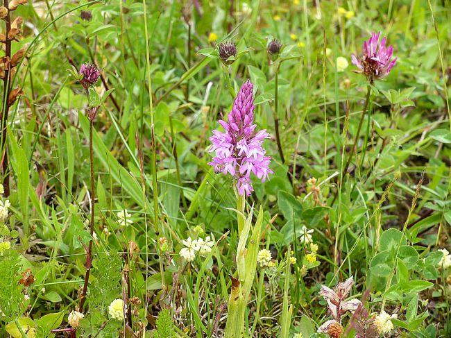 Orchidée sauvage : Orchis pyramidal