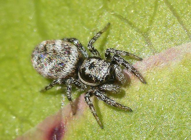 Salticus cingulatus femelle, famille des Salticidae. Ver/Mer 14 (04/2017).