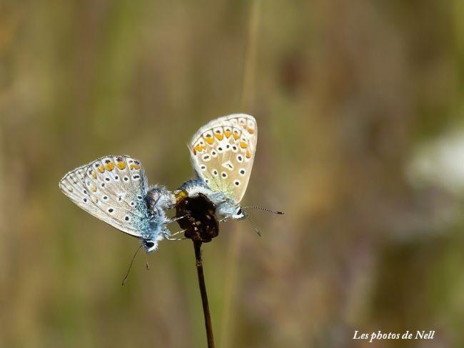Argus bleu ou Azuré de la Bugrane (Polyommatus icarus) mâle et femelle.