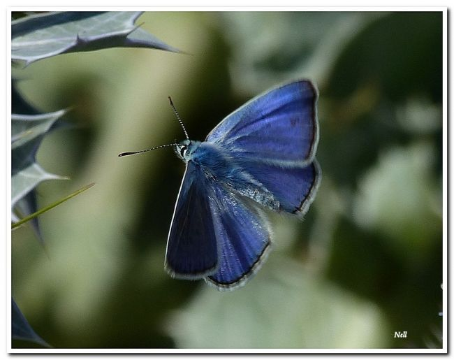 Argus bleu ou Azuré de la Bugrane (Polyommatus icarus) mâle