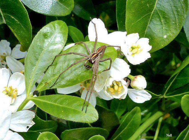Pisaura mirabilis (10 mm) mâle