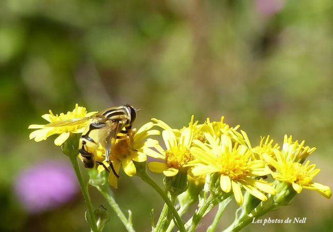 Helophilus trivittatus Syrphidae. Ver sur Mer 14