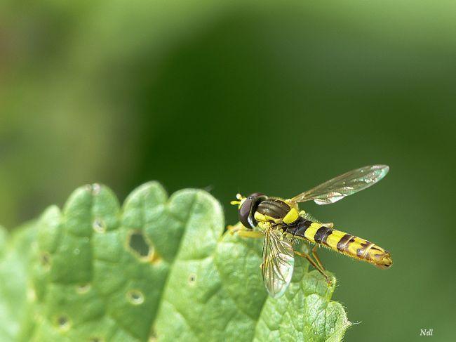Le syrphe porte-plume mâle