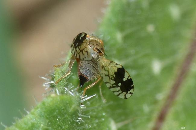 Tephritis neesii femelle.Diptères famille Tephritidae.  (Ver sur Mer 14)