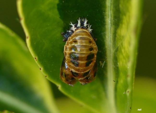 Pupe, dernier stade de transformation de la larve, fixé au feuillage