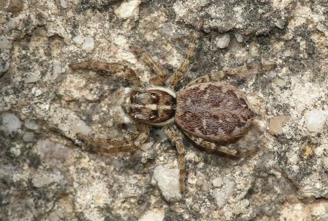Menemerus semilimbatus. Rochefort du Gard (30)