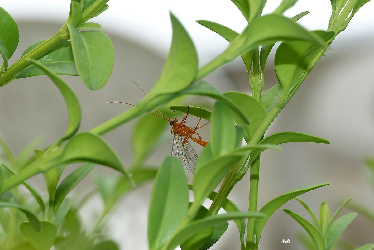 Netelia sp. Famille Ichneumonidae, sous famille Ophioninae. Ver sur Mer 14 (07/2018).