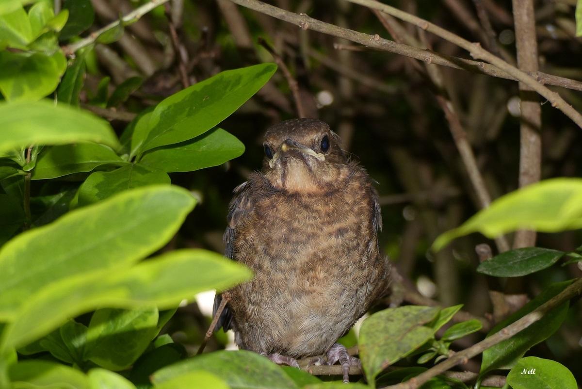 jeune à la sortie du nid