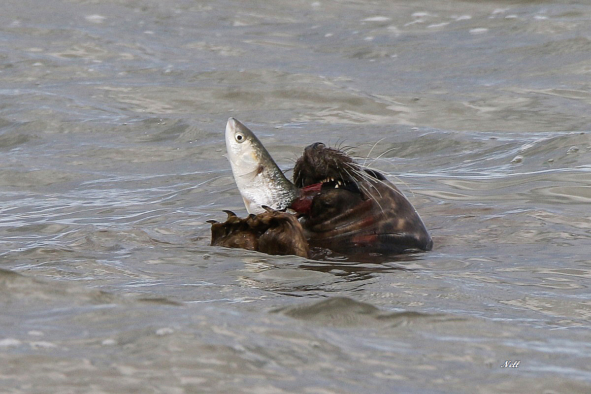 Phoque chassant le Mulet