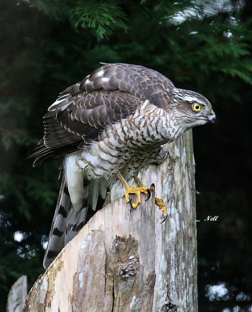 Épervier d'Europe femelle