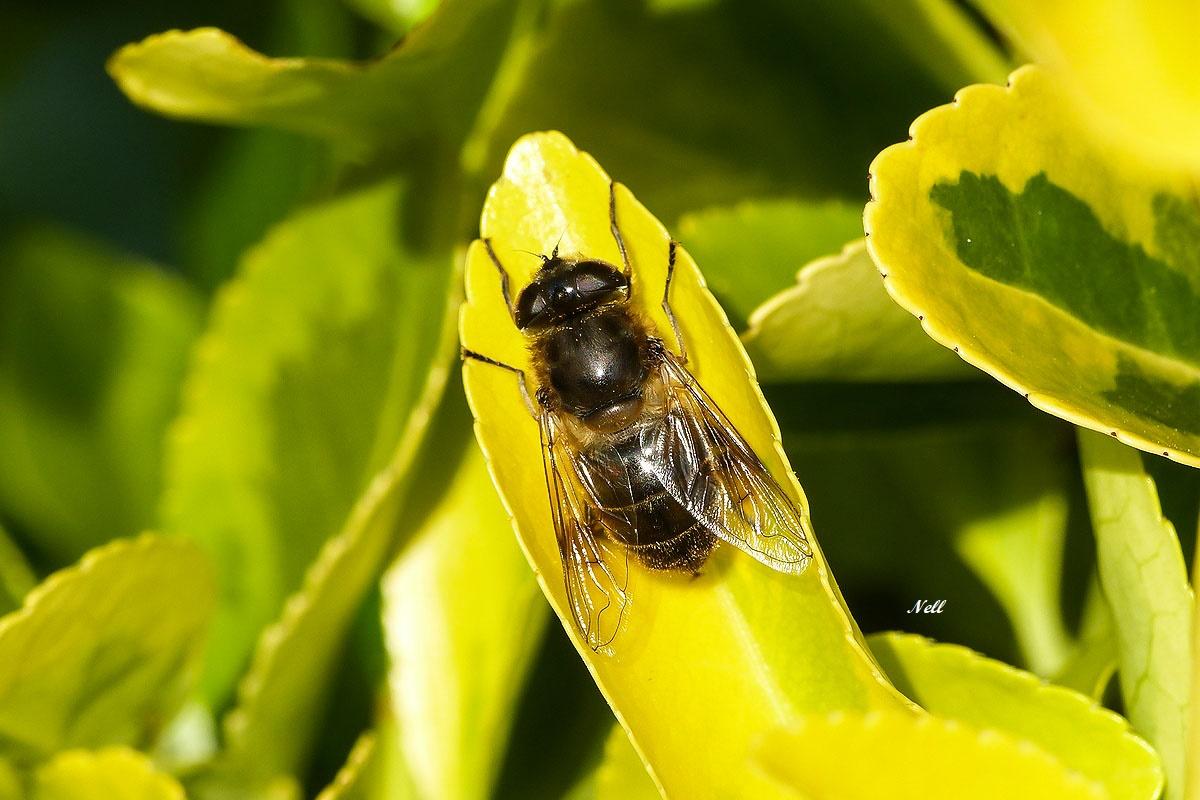 Syrphe femelle