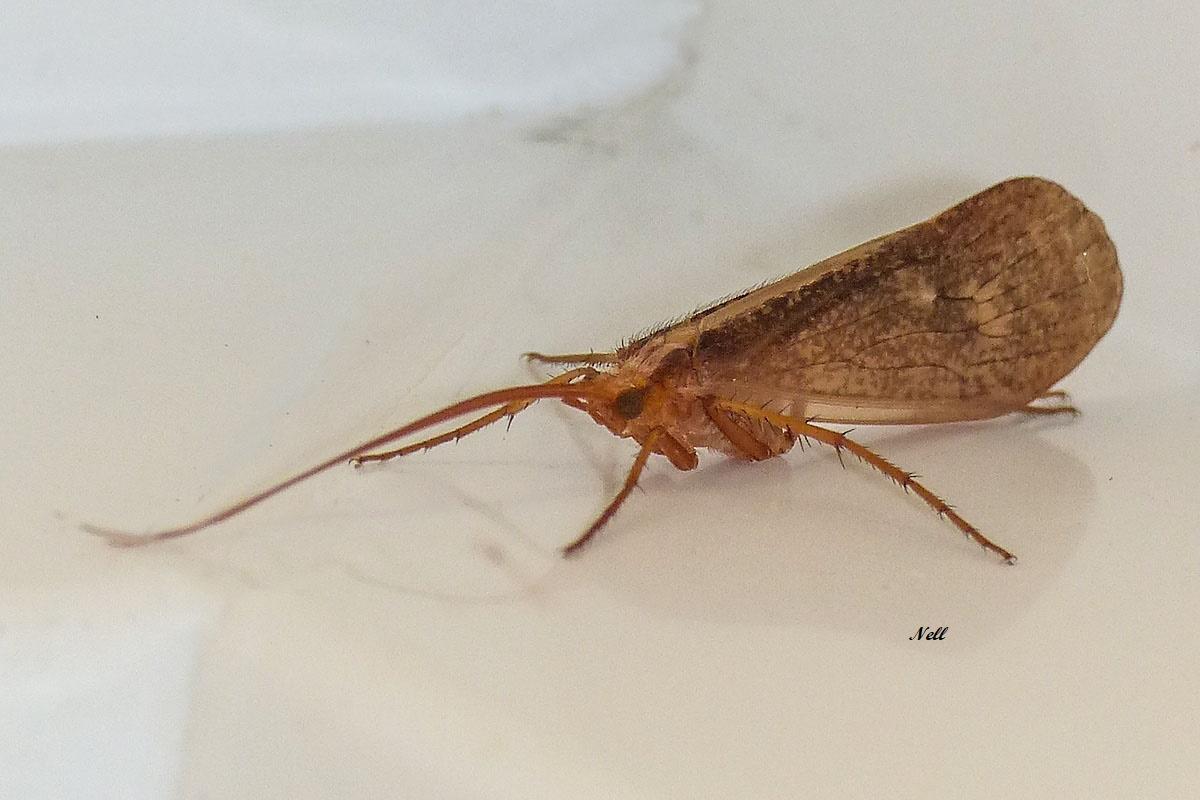 Trychoptera Stenophylax permistus pas sure Limnephilidae(3)