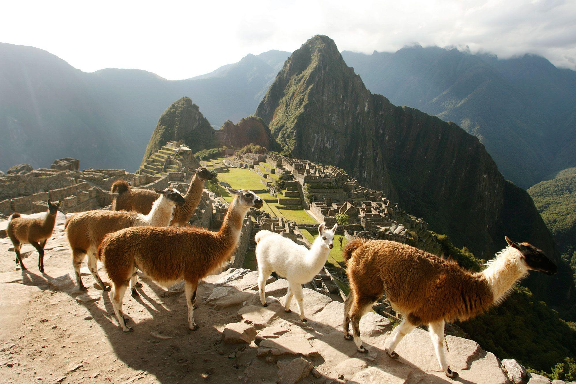 Lamas-temple-du-Soleil-et-Machu-Picchu-voir-le-Perou-comme-Tintin.jpg