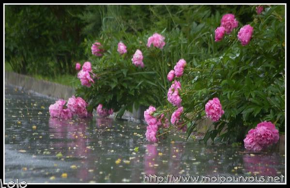 pivoines-sous-la-pluie-et-reflets.jpg