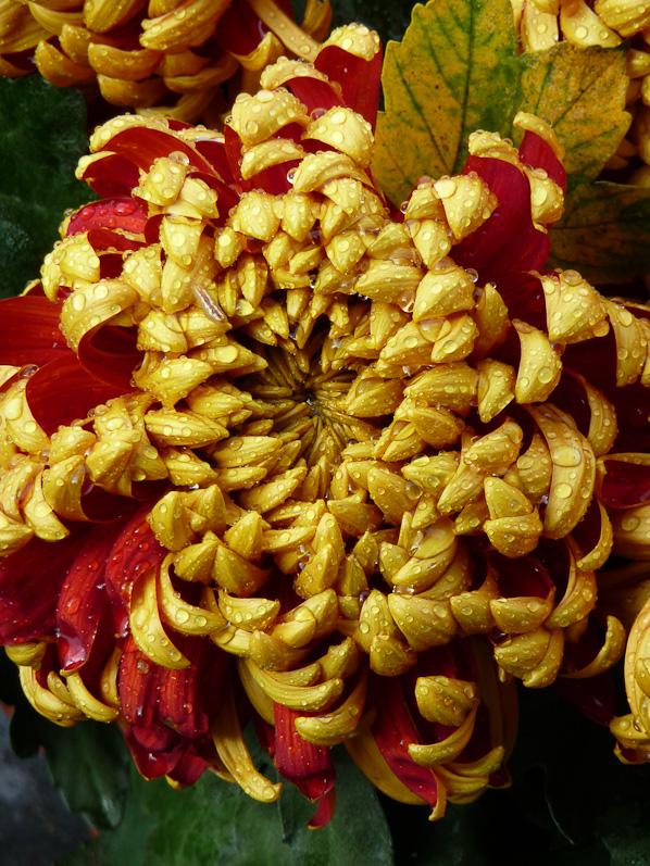 chrysantheme-grosses-têtes-mordoré-cimetiere-pere-lachaise-automne-paris.jpg