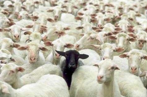 Mouton-noir.jpg