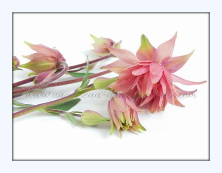 carte postale fleur Ancolie un-oiseau-dans-sa-bulle.com