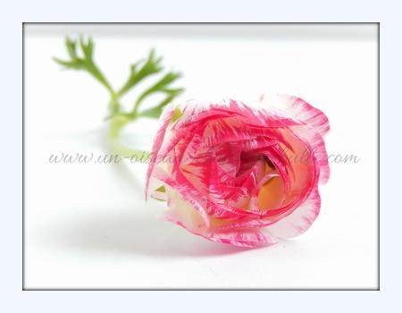 carte postale fleur renoncule un-oiseau_dans_sa_bulle.com