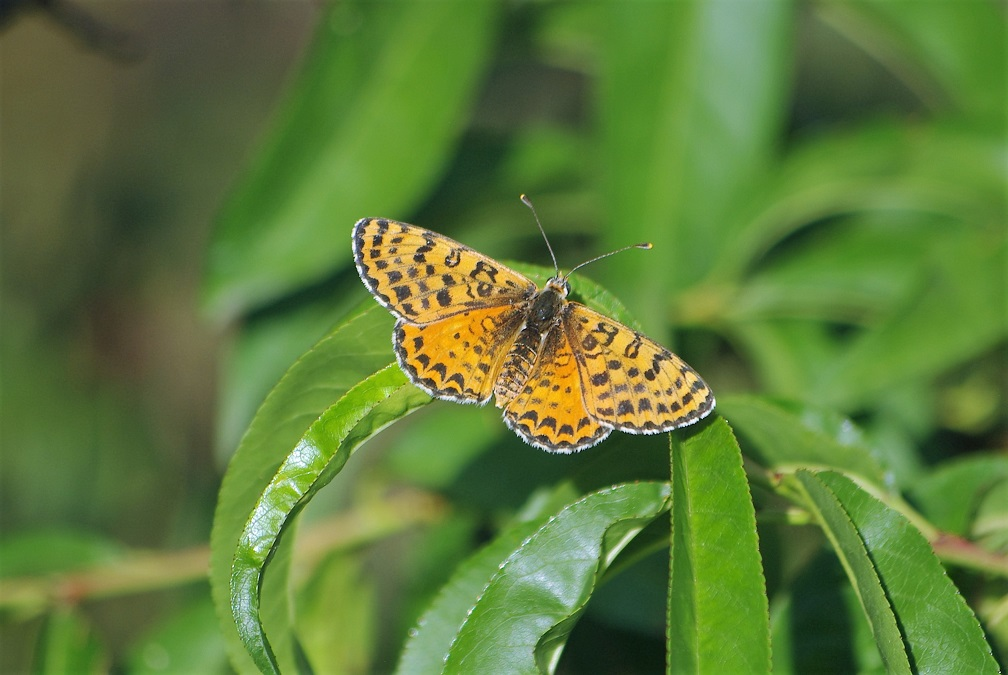 NYMPHALIDAE Melitaea didyma 2 (mélitée orangée femelle).JPG