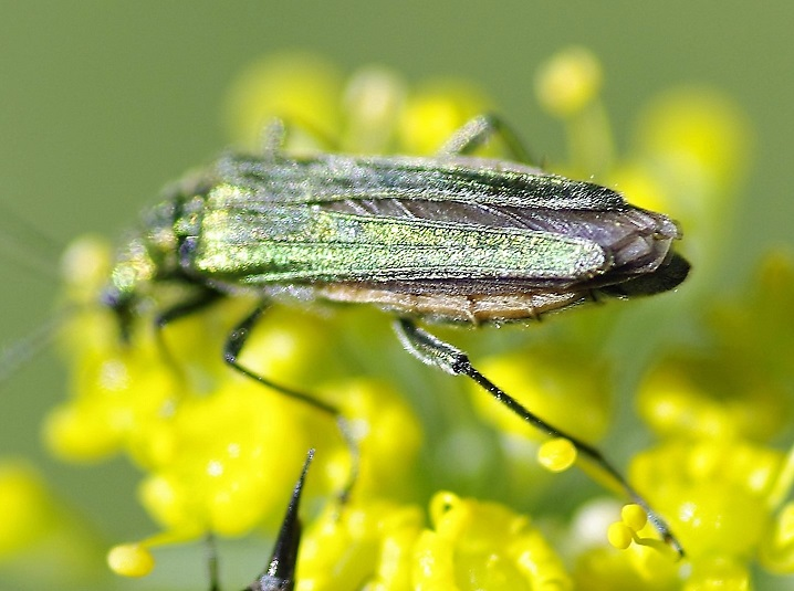 OEDEMERIDAE Oedemera nobilis (oedemère noble).JPG