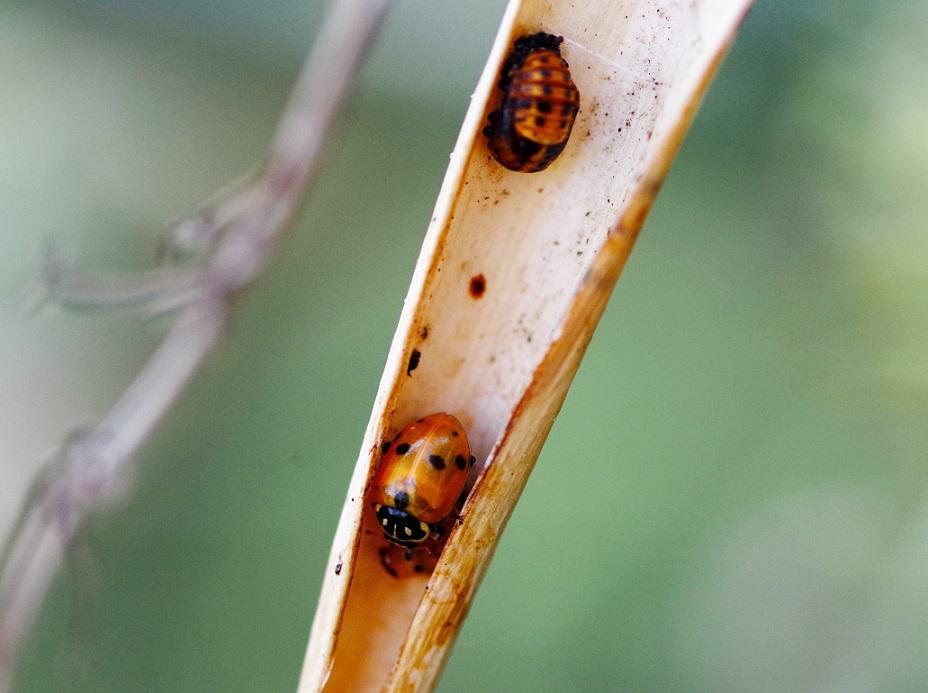 COCCINELLIDAE Coccinella septempunctata 3 (coccinelle à sept points).JPG