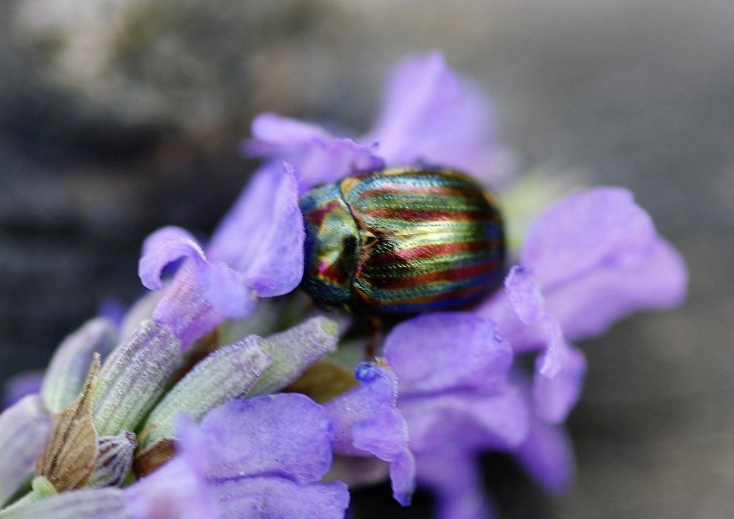 CHRYSOMELIDAE Chrysolina americana (chrysomèle du romarin).JPG