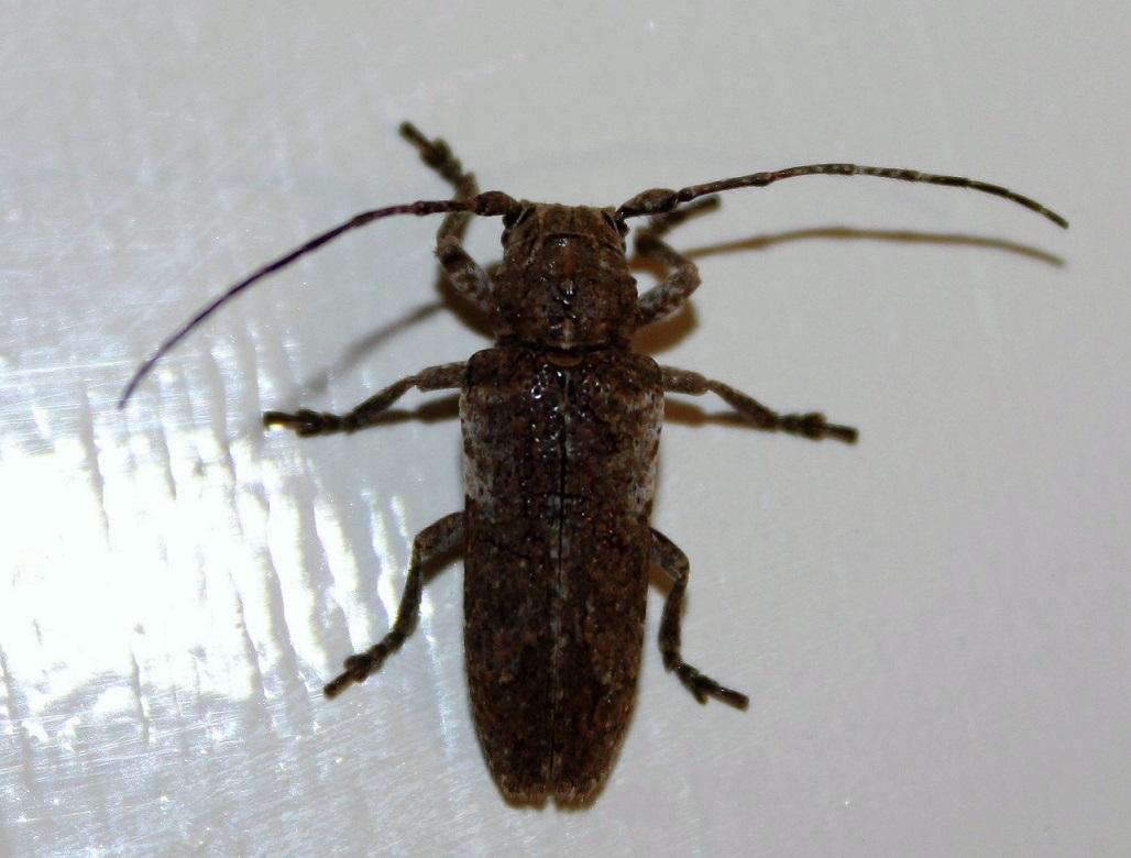 CERAMBYCIDAE Niphona picticornis.JPG