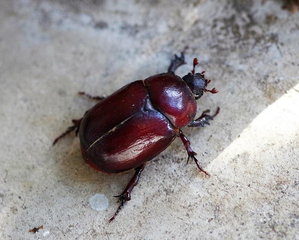 DYNASTIDAE Phyllognathus excavatus 2 (rhinoceros femelle).JPG