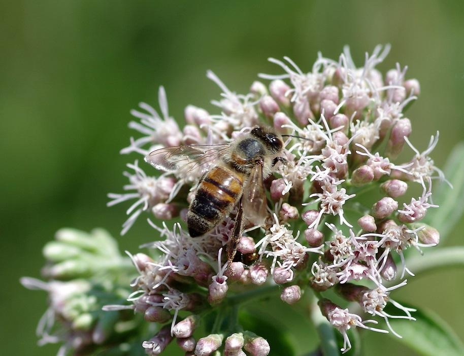 APIDAE Apis mellifera 2 (abeille domestique).JPG