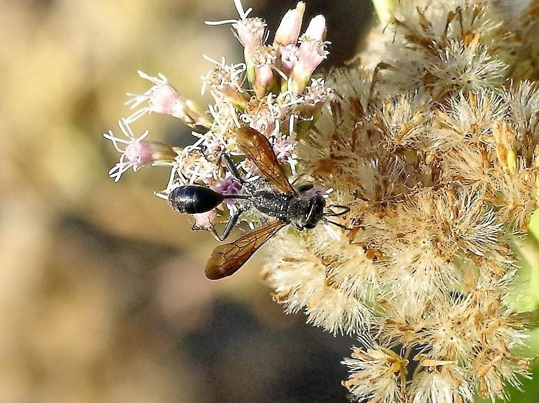 SPHECIDAE Isodontia mexicana 4.JPG
