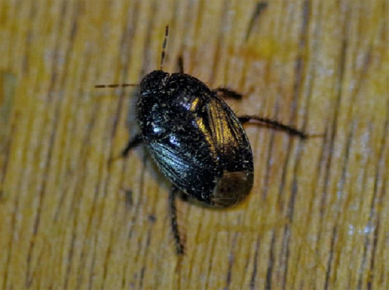 CYDNIDAE Legnotus limbosus (punaise noire).JPG