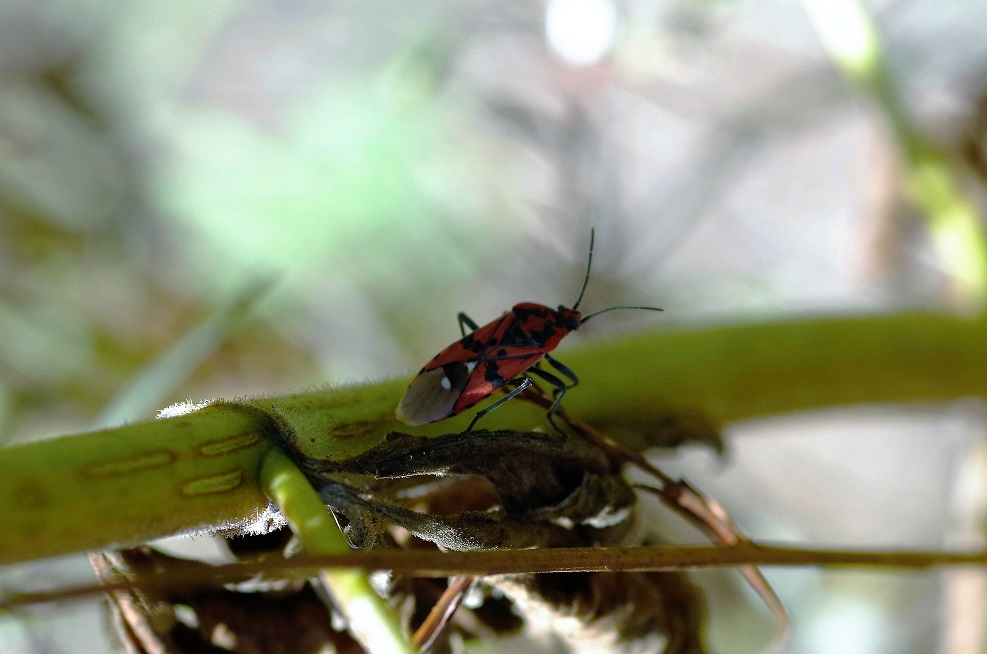 LYGAEIDAE Spilostethus pandurus.JPG