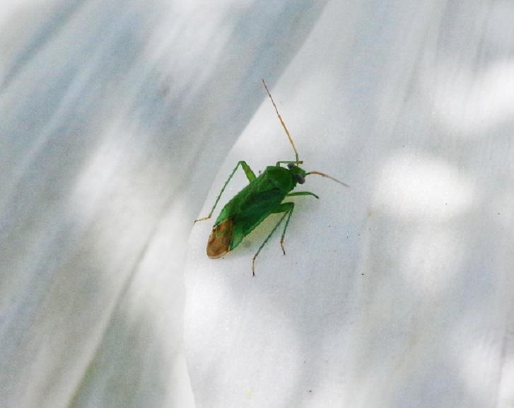 MIRIDAE Lygocoris pabulinus.JPG