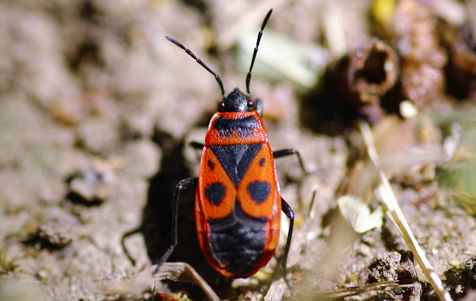 PYRRHOCORIDAE  Pyrrhocoris apterus 1 (gendarme).JPG