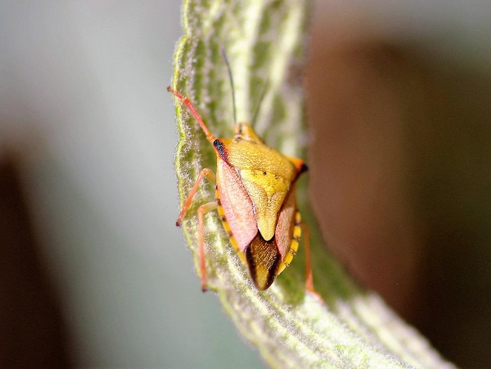 PENTATOMIDAE Carpocoris mediterraneus 1.JPG