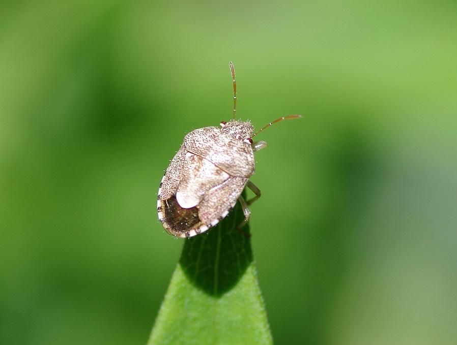 PENTATOMIDAE Rhaphigaster nebulosa (punaise nébuleuse).JPG