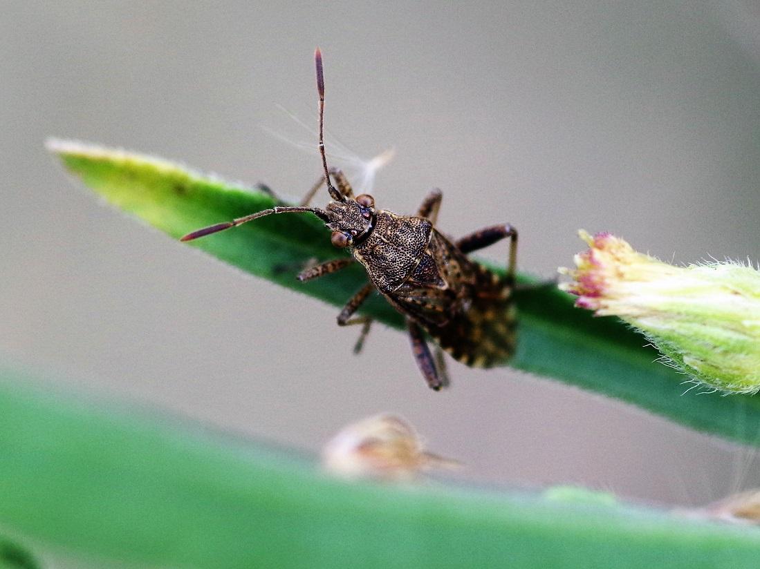 RHOPALIDAE Strictopleurus punctanervosus 2.JPG